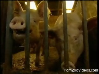 Man and pretty woman efficiently spend time in piggery