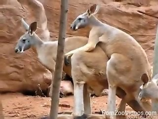 Excited kangaroo penetrates his pretty female in fresh air