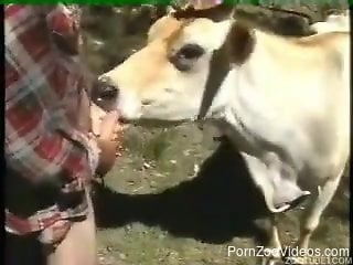 Amateur man analyzes pretty cow from behind in fresh air