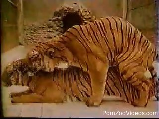 Two angry tigers are enjoying dirty zoofilic sex
