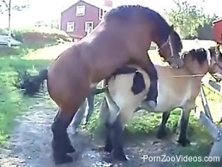 Cute ponies are screwing in doggy style pose at farm