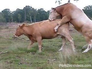 Cows fucking are the new delight for the horny zoo lover