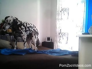 Beautiful Dalmatian dog is waiting on a bed