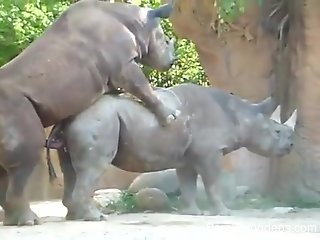 Racy rhinoceros sex scene recorded at a public zoo
